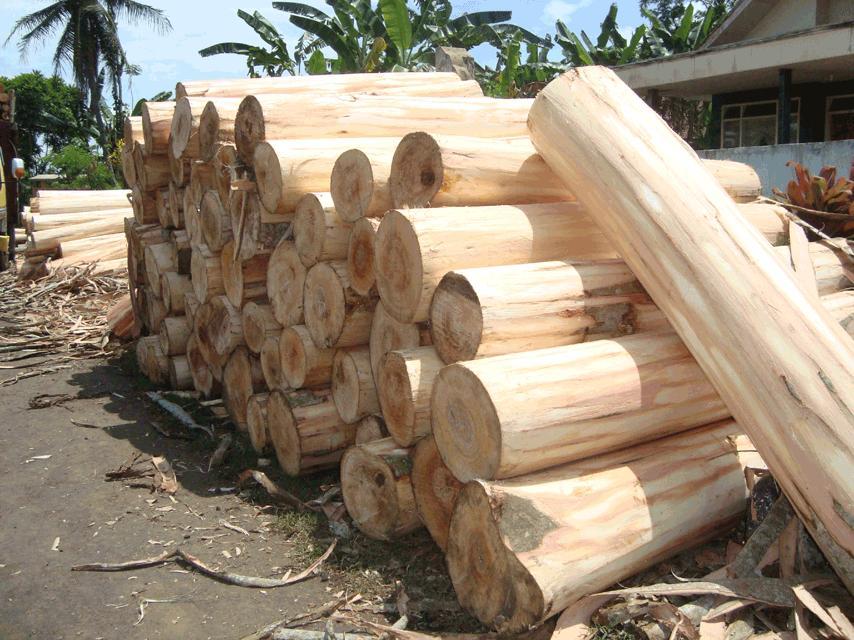 Kayu sengon (Sumber: blogspotcom)